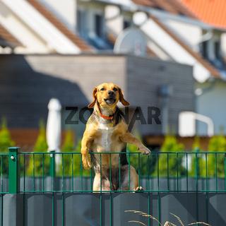 Hund am Zaun klettert drüber