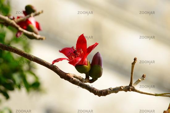 The flowers of ceiba tree