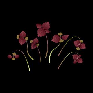 Microgreens Shiso, Perilla. Bunch of plants. Black background