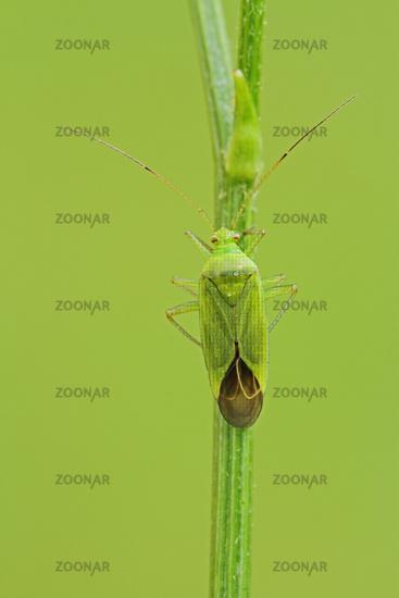 Soft bug (Orthotylus flavinervis)