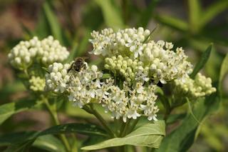 Asclepias incarnata var. alba, WeiÃe Fleischrote Seidelblume, Swamp silkweed, mit Biene