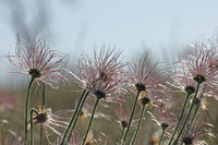 Seed head of an Pasque flower