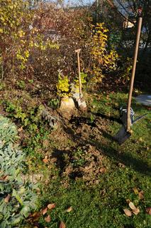 Rosa, Edelrose pflanzen, planting