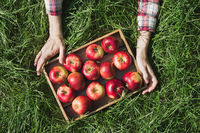 Flatlay of woman's hands holding wooden box with red ripe organic apples on green grass
