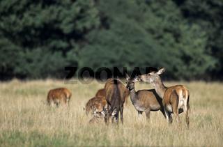 Rottier umsorgt ihr Kalb auf einer Waldwiese - (Rotwild - Edelhirsch) / Red Deer hind caring her calf on a forest meadow / Cervus elaphus
