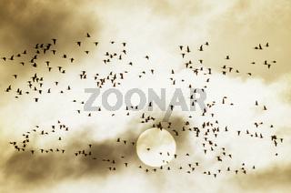Weisswangengaense auf dem Zug gen Sueden vor der Sonne - (Nonnengaense) / Barnacle Goose migrating to the south in front of the sun / Branta leucopsis