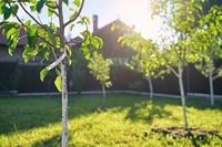 Freshly planted young pear and apple trees in spring or summer orchard or garden with beautiful sunlight. Tree has a label with no text.