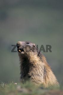 Alpenmurmeltier warnt durch Pfiffe seine Artgenossen vor einem Steinadler - (Murmeltier) / Alpine Marmot warning his conspecifics whistling before a Golden Eagle attack / Marmota marmota
