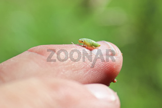 Macro of a green spittlebug nymph on a finger