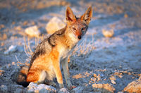 black-backed jackal, Etosha National Park, Namibia, (Canis mesomelas)