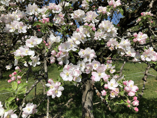 Apfelblüte in Streuobstwiese