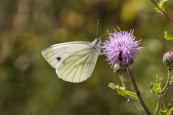 Pieris napi, Green-veined White butterfly, Germany