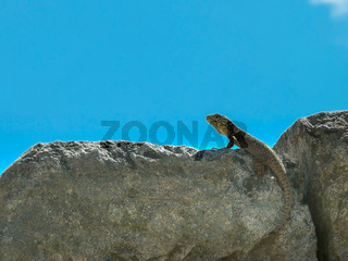 close up of a lizard on a stone wall at machu picchu
