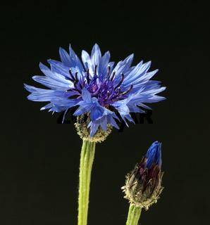 Kornblume, Centaurea cyanus,