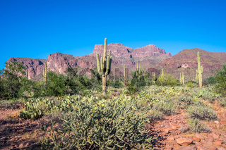 A long slender Saguaro Cactus in Apache Junction, Arizona