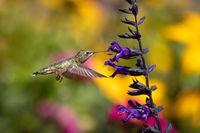 Hummingbird in Flight Drinking Nectar