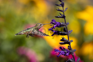 Hummingbird in Flight Drinking Nectar