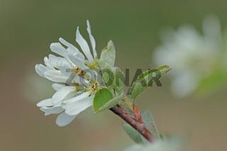 Felsenbirne (Amelanchier)