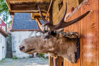 Moose in Bryggen in Bergen Norway