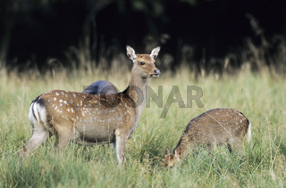 Unterart: Japan-Sika - Sikatiere und Sikakalb auf einer Waldwiese - (Japanischer Sikahirsch) / Subspecies: Japanese Sika Deer hinds and fawn standing in a forest meadow - (Spotted Deer - Japanese Deer) / Cervus nippon - Cervus nippon (nippon)