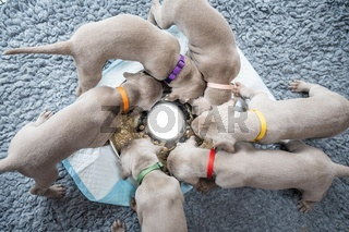 Group of Puppies of weimaraner hound pointing dog eating in circle formation from stainless bowl on grey blanket