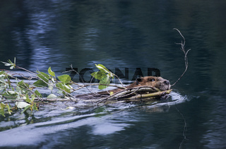 Kanadischer Biber schwimmt mit Weidenzweigen die als Wintervorrat dienen ueber einen Teich / North American Beaver swimming with willow branches in a pond to function as winter stock / Castor canadensis