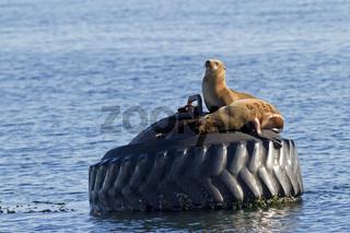 Kalifornische Seelöwen, Kalifornien / Zalophus californianus