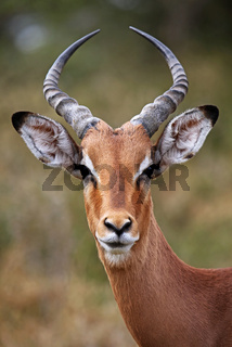 Impalamännchen im Kruger Nationalpark, Schwarzfersenantilope, Südafrika, South Africa, Aepyceros melampus