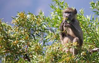 Pavian sitzt im Baum, Marakele-Nationalpark, Südafrika; baboon sitting in a tree, Marakele National park, South Africa