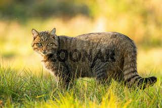 European wildcat standing on grassy meadow and looking into camera in summer.