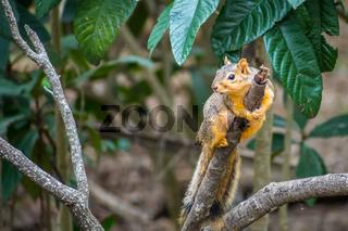 A Fox Squirrel in Estero Llano Grande State Park, Texas