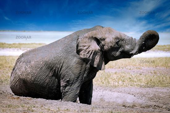 elephant in the mud, Etosha National Park, Namibia, (Loxodonta africana)