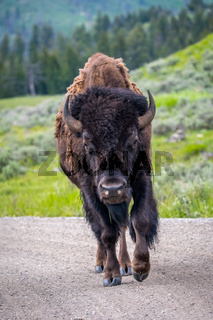 American Bison in the field of Grand Tetons NP, Wyoming
