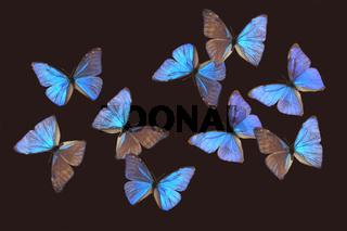 Morphofalter, Schmetterling