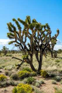 Joshua Tree National Park. American desert national park in southeastern California.