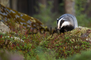 European badger searching for food and approaching on rocks in forest.