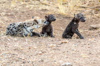 Hyena family in South Africa. Babys hyenas.
