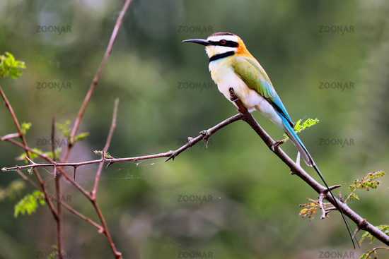 white-throated bee-eater at Queen Elizabeth National Park, Uganda (Merops albicollis)