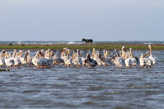 Flock great pelicans ( pelecanus onocrotalus ) standing together  in shallow water. This image was taken on Sahalin island