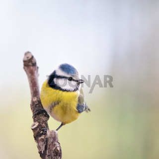 great tit titmouse siting on a perch