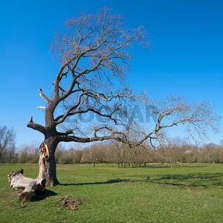 alte Eiche in einem Park bei Magdeburg