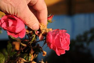 Rosa, Edelrose, welke Blüten ausputzen