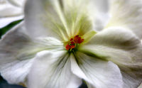 Macro photo of white hydrangea flowers