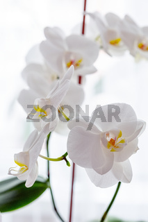 White orchids on the windowsill, indoor plant close-up