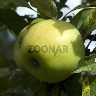 Seestermuehler Zitronenapfel