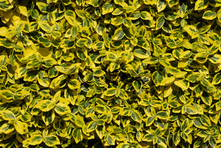 Euonymus fortunei Emerald n Gold