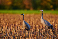 common crane in a German bog