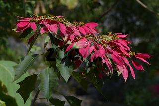 Blühender wilder Weihnachtsstern (Euphorbia pulcherrima), Nordba