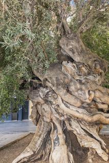 Ancient Olive Tree (Olea europaea)  Palma Majorca Spain