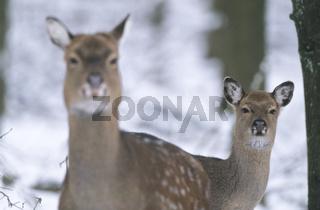 Unterart: Dybowski-Sika - Sikatier und Kalb im Portraet - (Sikahirsch - Sikawild) / Subspecies: Portrait of a Dybowski Sika Deer hind and fawn - (Spotted Deer - Japanese Deer) / Cervus nippon - Cervus nippon (hortulorum)